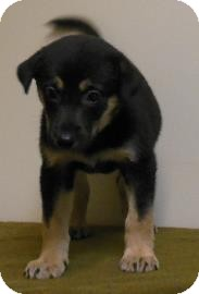 Collie/German Shepherd Dog Mix Puppy for adoption in Gary, Indiana - Sissy
