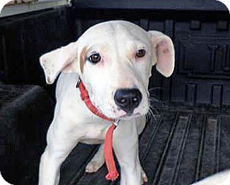 Hound (Unknown Type)/Labrador Retriever Mix Dog for adoption in Manhasset, New York - Grace