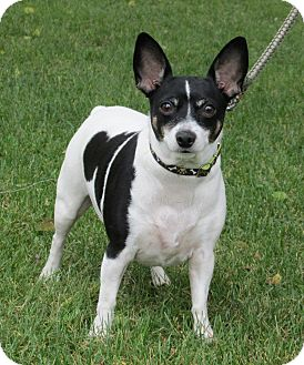 Rat Terrier/Fox Terrier (Toy) Mix Dog for adoption in Marseilles, Illinois - Tammy
