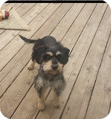 Schnauzer (Miniature)/Poodle (Miniature) Mix Dog for adoption in Freeport, New York - Oscar