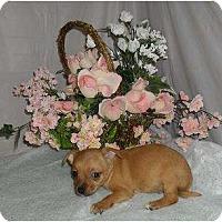 Adopt A Pet :: Puppy 2 - Chandlersville, OH
