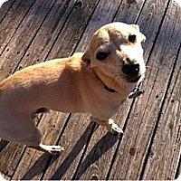 Adopt A Pet :: Amigo - Shelton, WA