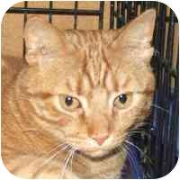 Manx Cat for adoption in Coleraine, Minnesota - Cinnamon