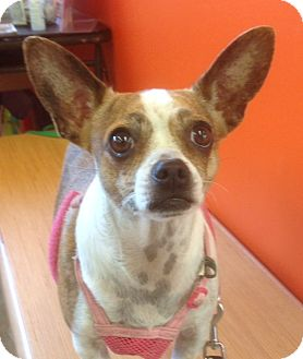 Chihuahua Mix Dog for adoption in Studio City, California - Mitzy