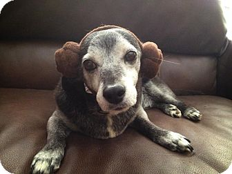 Dachshund Mix Dog for adoption in Los Angeles, California - PeeWee is a PRIZE!