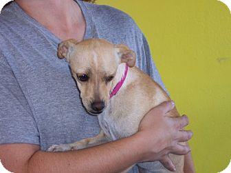 Chihuahua Mix Dog for adoption in Phoenix, Arizona - Camille