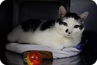 Domestic Shorthair Cat for adoption in New Milford, Connecticut - Muncie