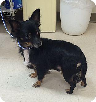 Pomeranian Mix Dog for adoption in Greensburg, Pennsylvania - Sam