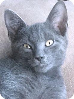 Domestic Shorthair Kitten for adoption in Prospect, Connecticut - Tom