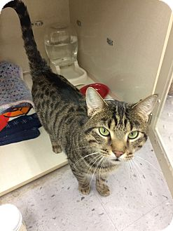 Domestic Shorthair Cat for adoption in Chicago, Illinois - Tiger 2