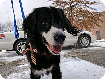Border Collie/Spaniel (Unknown Type) Mix Dog for adoption in Jamestown, Michigan - Bradley