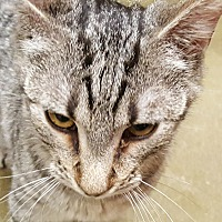 Domestic Shorthair Cat for adoption in Smithfield, North Carolina - Maddox