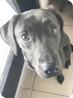 Labrador Retriever Mix Dog for adoption in Taylor, Michigan - PEBBLES