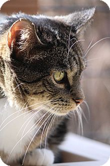 Domestic Shorthair Cat for adoption in Colorado Springs, Colorado - Shilah-Marie