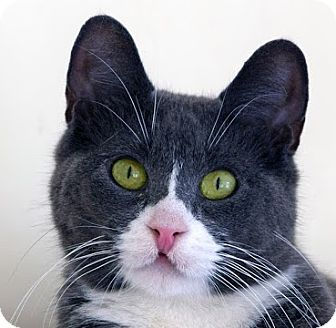Domestic Shorthair Cat for adoption in Norwalk, Connecticut - Goober