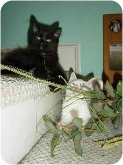 Domestic Mediumhair Cat for adoption in Laurel, Maryland - Onyx