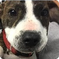 Pit Bull Terrier Mix Puppy for adoption in Springdale, Arkansas - Carson