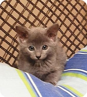 Domestic Shorthair Cat for adoption in Americus, Georgia - Vinn