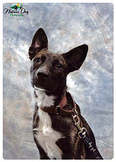 Belgian Malinois/Dutch Shepherd Mix Puppy for adoption in Houston, Texas - Bruno Mars