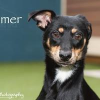 Adopt A Pet :: Homer - Merriam, KS