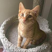Domestic Shorthair Kitten for adoption in Smithtown, New York - Mango