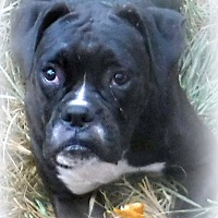 Adopt A Pet :: DIAMOND - Anderson, SC