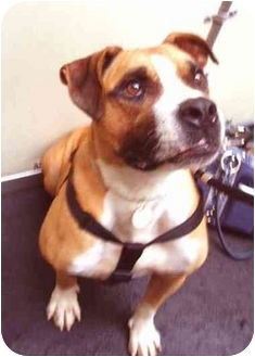 Staffordshire Bull Terrier/American Staffordshire Terrier Mix Dog for adoption in New York, New York - Romeo