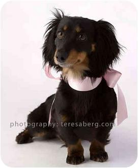 Dachshund Dog for adoption in Colleyville, Texas - Velvet