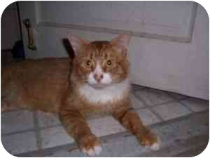 Maine Coon Cat for adoption in North Plainfield, New Jersey - Rudy