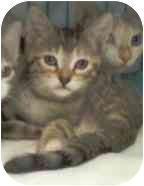Domestic Shorthair Kitten for adoption in Bunnell, Florida - Freedom