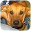 Photo 1 - Shar Pei Mix Puppy for adoption in Kingwood, Texas - SweetiePie