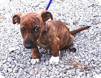 Dachshund/Terrier (Unknown Type, Medium) Mix Puppy for adoption in Westport, Connecticut - *Benjamin - PENDING