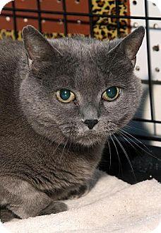 Russian Blue Cat for adoption in Westfield, Massachusetts - Morgan