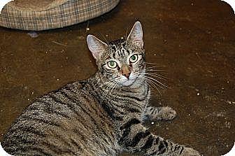 American Shorthair Cat for adoption in Jackson, Mississippi - Seuss