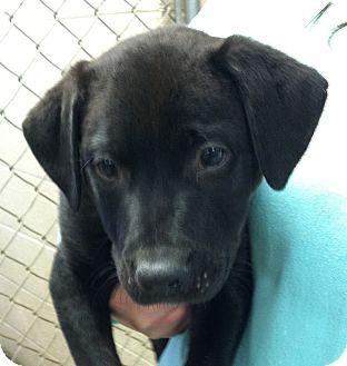 Labrador Retriever Mix Puppy for adoption in Greensburg, Pennsylvania - Axel