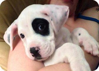 Boxer/American Bulldog Mix Puppy for adoption in Hammonton, New Jersey - Julius