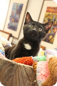 Domestic Shorthair Kitten for adoption in Chattanooga, Tennessee - Robert Crawley