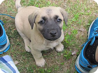 Beagle/Australian Shepherd Mix Puppy for adoption in elizabethtown, New York - dusty