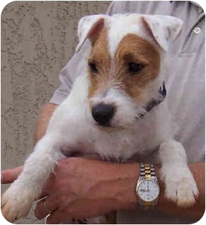 Jack Russell Terrier Dog for adoption in Phoenix, Arizona - BAM