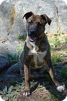 Shepherd (Unknown Type) Mix Dog for adoption in Mountain Center, California - Enila