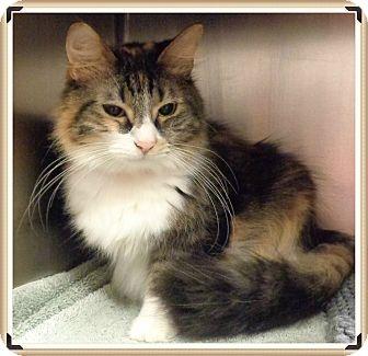 Domestic Longhair Cat for adoption in Marietta, Georgia - CHARLOTTE