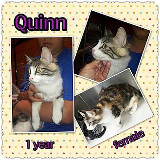 Domestic Longhair Cat for adoption in Richmond, California - Quinn