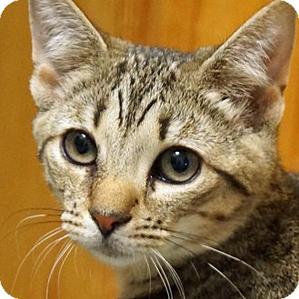 Domestic Shorthair Cat for adoption in Sprakers, New York - Trevor and Roxy