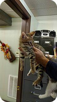 Domestic Shorthair Cat for adoption in Mt. Vernon, Illinois - Tiger