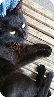 Domestic Shorthair Cat for adoption in Huntington, West Virginia - Puma