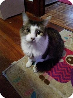Maine Coon Cat for adoption in Acushnet, Massachusetts - Baby