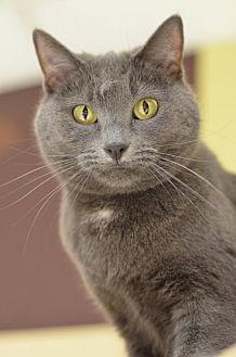 Domestic Shorthair Cat for adoption in Atlanta, Georgia - JJ161994