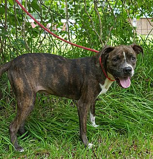 Boxer Mix Dog for adoption in Beaumont, Texas - John Boy  (JB)