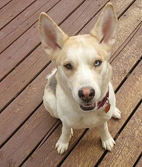 Husky/Shepherd (Unknown Type) Mix Dog for adoption in Taneytown, Maryland - Macey