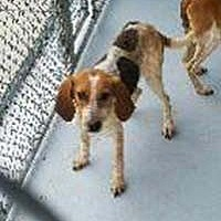 Adopt A Pet :: Lyric - Chantilly, VA